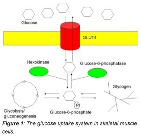 Fig1-glucose uptake