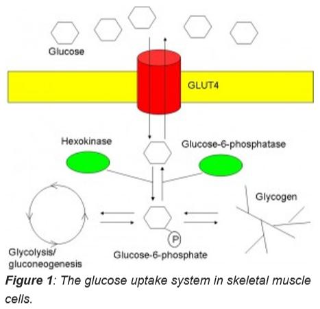 Fig1-glucose uptake